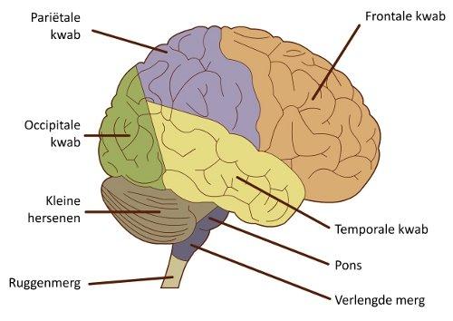 anatomie hersenen oefenen